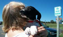Mozart, a deaf hound mix puppy, at a relay transport point held by a driver